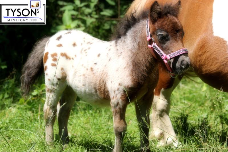 Knotenhalfter Extra RPS Mix Farben Minishetty // Shetty // Pony