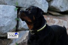 Hundehalsband DOLF Braun o Schwarz Gold -Farben Messing Beschläge Leder